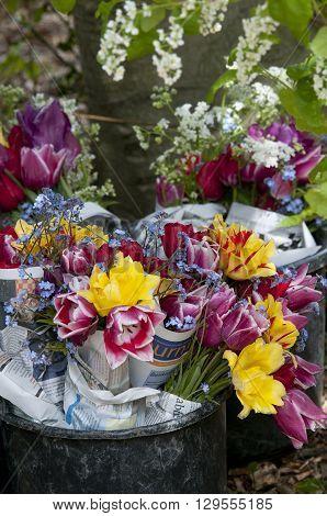 Tulips Fresh Cut From Field In Bucket