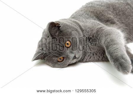 cat with yellow eyes lying on white background. horizontal photo.