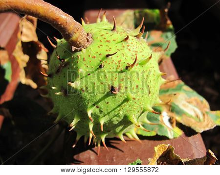 unripe chestnut in a green shell macro isolate