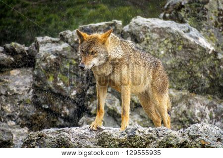 Whole wet Canis Lupus Signatus over rocks looking at the horizon, front view, raining