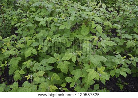 seedlings of raspberry bushes in the garden without berries