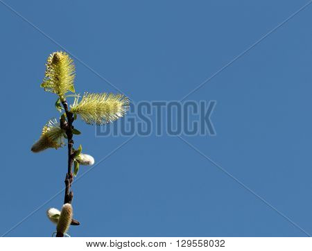 Blossom willow twig over the blue sky