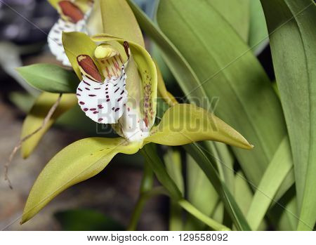 Tiger Striped Cymbidium Orchid - Cymbidium tigrinum From Chinese Himalayas Myanmar and Assam India