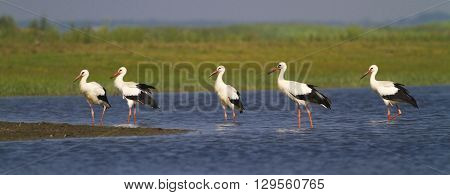Five white storks Ciconia on the meadow