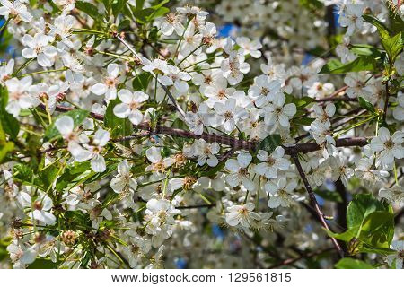 Blossoming of cherry flowers in spring time with green leaves