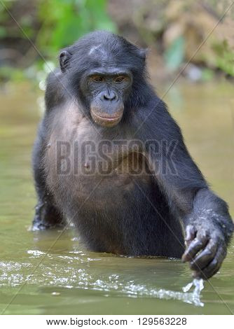 Bonobo Standing In Water Looks For The Fruit Which Fell In Water. Bonobo ( Pan Paniscus ).