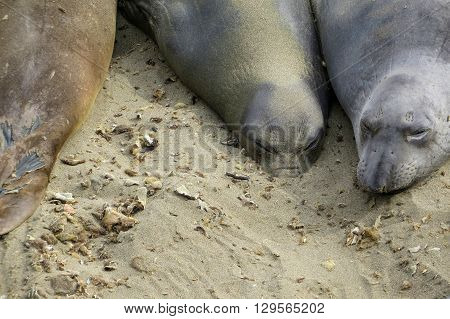 Elephant seals with face buried in the sand