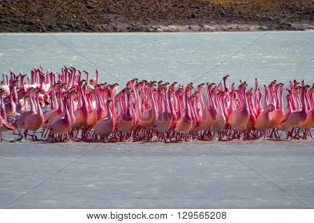 A large group of flamingos in water calling out
