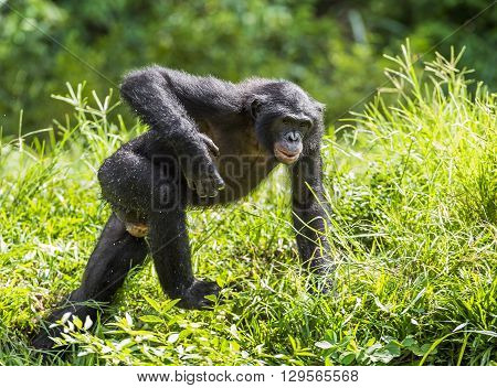 Running Male Bonobo In Natural Habitat. Green Natural Background. The Bonobo ( Pan Paniscus)