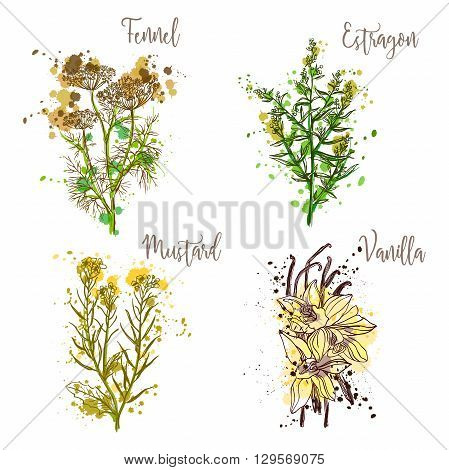 Cooking herbs and spices in watercolor style .Fennel, estragon, mustard, vanilla. Retro hand drawn vector illustration. Retro banner, card, scrap booking, postcard, poster