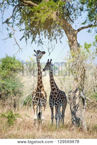Giraffes Hid From The Sun In An Acacia Shadow. Under A Shining Sun Two Giraffes Stand At A Tree. Rot