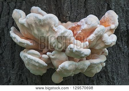Young Sulphur shelf fungus (Laetiporus sulphureus). Called Crab-of-the-woods Sulphur polypore and Chicken-of-th-woods also