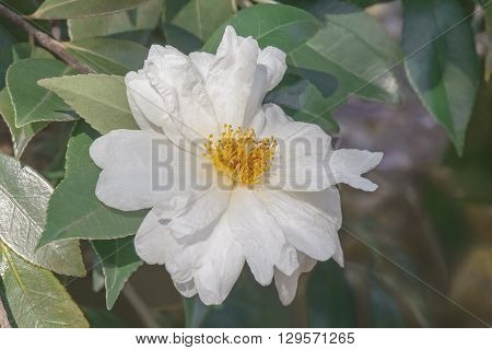 Elaine Lee hybrid camellia (Camellia x hybrid Elaine Lee). Image of single white flower