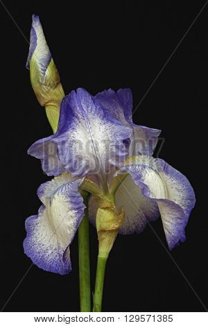 Hybrid German iris (Iris x germanica). Image of flower and bud isolated on black background