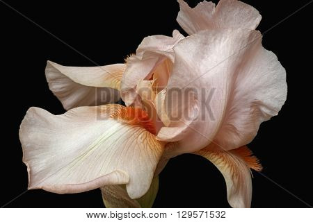 Hybrid German iris (Iris x germanica). Image of flower isolated on black background