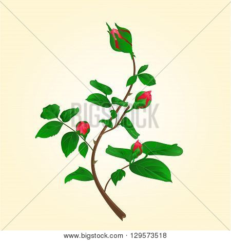 Buds of climbing red rose stem with leaves and bud vector illustration