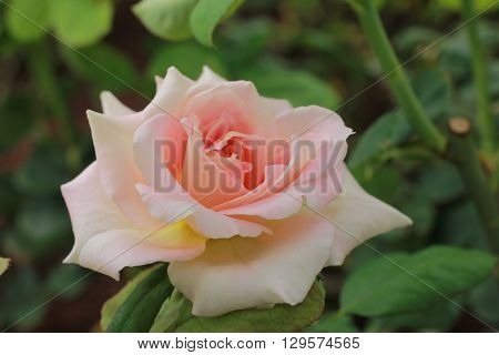 fresh pink rose in a garden ,blured background