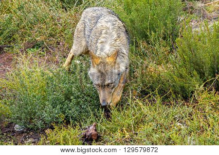 Front view of wet Canis Lupus Signatus sniffing in the bush