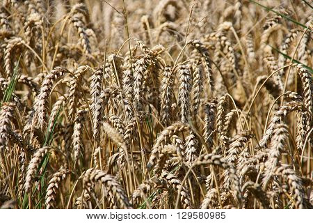 A field full with golden wheat stalks