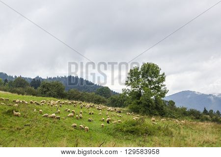 Sheep grazing near the red trail to the top of Luban Mountain, Poland