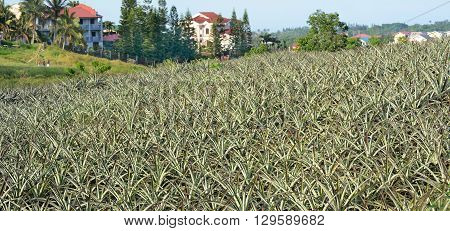 MANILA PHILIPPINES - APRIL 4 2016: Pineapple Plantation in the Philippines. The fruit is widely grown in the island nation.