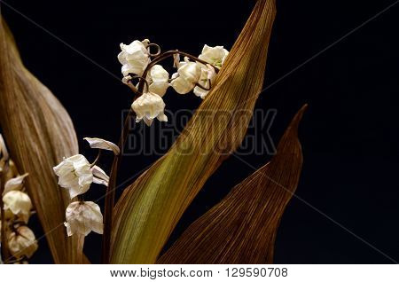 Dry And Old Lily Of Valley Flower
