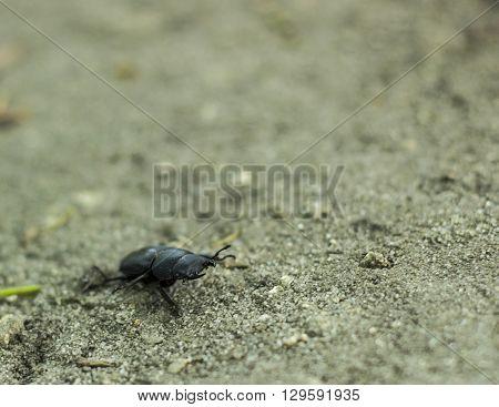 Dorcus antaeus, big black beetle in a defensive stance