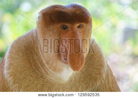 Close-up portrait of a proboscis monkey at mangrove forest in Sandakan Sabah Malaysia.