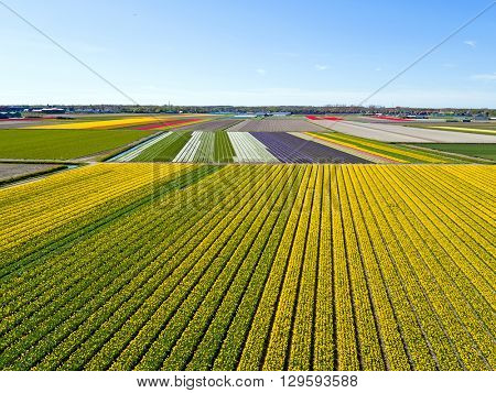 Aerial from blossoming tulip fields in the countryside from the Netherlands