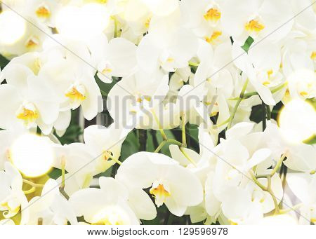 Bunch of fresh white  orchid flowers   background, retro toned