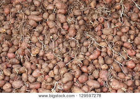 Bunch of germinated seed potatoes with sprouts for spring planting, dried under a canopy. Can use as background.