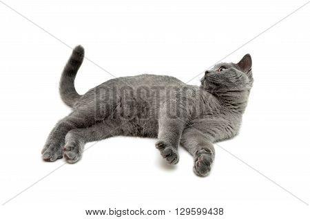 gray kitten lies on a white background. horizontal photo.