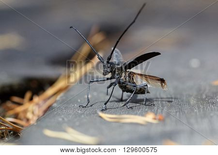 Beetle barbel is preparing to take off in a pine forest