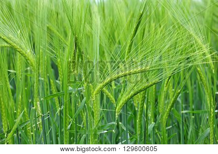 Photo of field of barley close up view