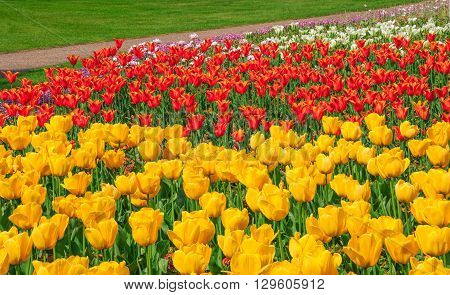 Yellow red and white tulips blooming at the flower garden in Greenwich park of London UK