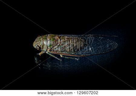 close up the cicada on black background