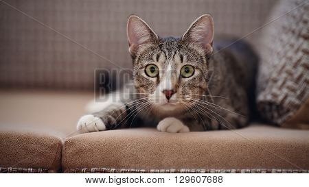 The domestic striped cat lies on a sofa.
