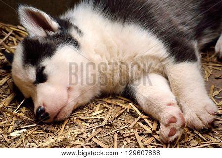 Husky puppy sleeping in straw - close-up