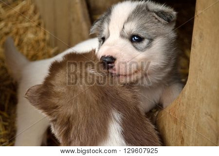 brown and gray husky puppy lick off
