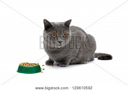 gray cat sits beside a bowl of food on a white background close-up. horizontal photo.