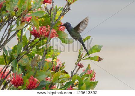 Hummingbird In Flight In Minas Gerais, Brazil