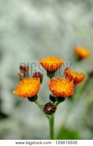 Beautiful orange color flower in naturel environment