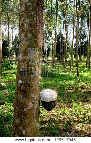 Getting the raw rubber from rubber tree - rubber trees farm