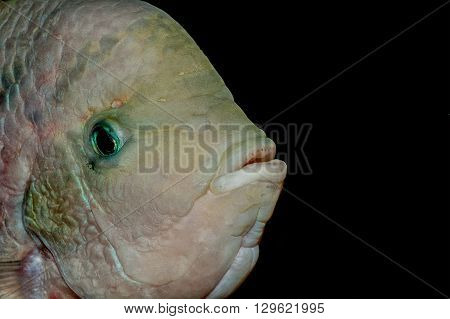 Detail portrait of cichlid fish from genus Vieja