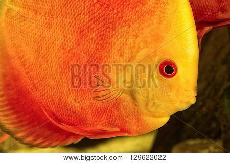 Detail portrait of head of discus aquarium fish