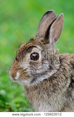 swamp rabbit (Sylvilagus aquaticus) or swamp hare