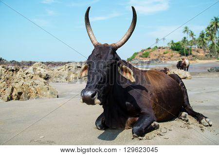 Indian cows relaxing on beach goa. Stock image.