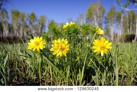 useful, medicinal, protected, rare flower Adonis, and simply beautiful, rasstsvetaet spring and pleases the eye,