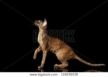 Brown Oriental Cat With Extremal Big Ears crouched and Looking up Black Isolated Background