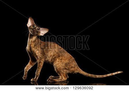 Playful Brown Oriental Cat With Extremal Big Ears Standing and Looking in Camera Black Isolated Background